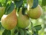 pears - 296473