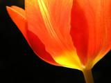 red tulip - 300481