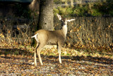 deer - young doe standing in woods poster