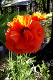bright orange poppy blooming in the country poster