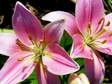 pink easter lilly blooming poster