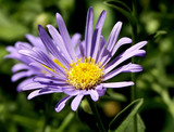 soft lavendar daisey type flower poster