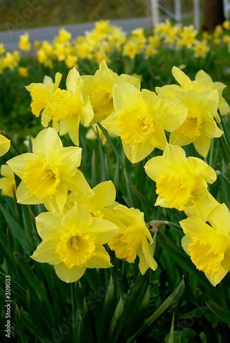 yellow daffodils blooming in field