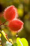 bloom, lipstick tree, hoomaluhia botanical gardens poster