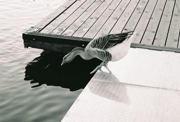 duck on the edge