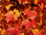 fall maple leaves a poster