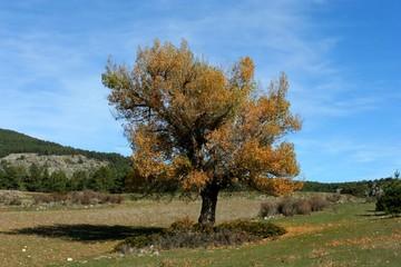 alamo en otoño