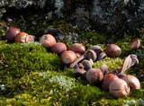 acorn on moss poster
