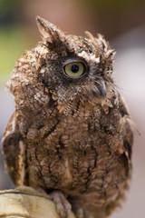 screech owl profile