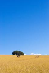 cape trees #1
