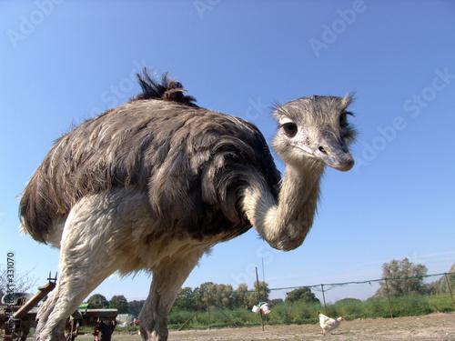 Plexiglas Struisvogel strauß