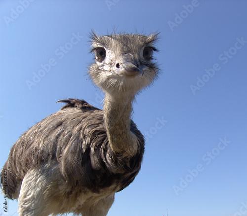 Fotobehang Struisvogel neugieriger strauß