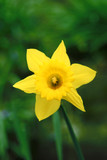 daffodil blossoming poster