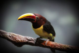 mini toucan bird poster