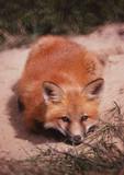 red fox in alaska poster