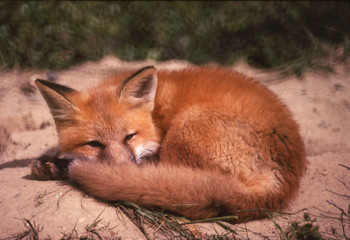 red fox on den