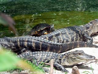 turtle & alligators