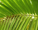 coconut leaves poster
