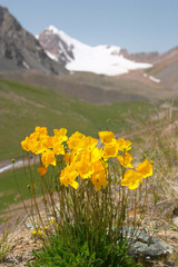 yellow mountain poppy