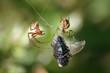 spinnen mit fliege