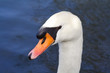 close up of a swans head