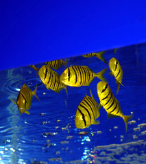 yellow zebra fishes
