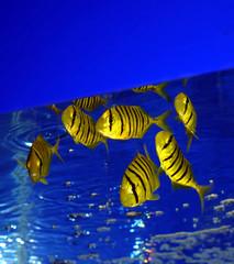 yellow zebra fishes