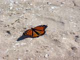 monarch butterfly on beach poster