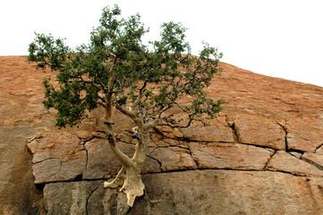 mountain fig