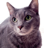russian blue cat poster