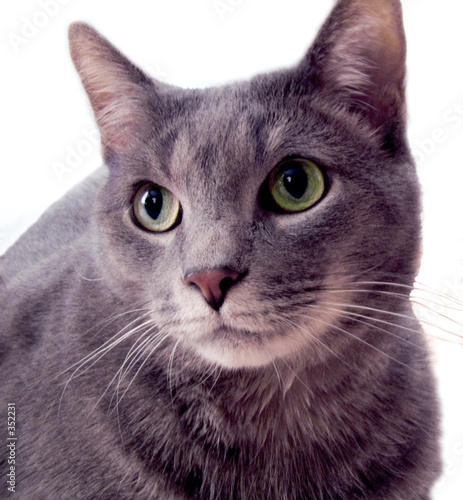 poster of russian blue cat