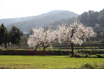 almond blossums