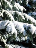 winter fir branches under snow poster