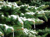 winter fir poster