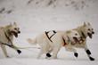 ������, ������: white husky leaders 2