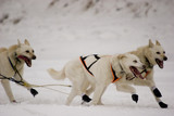 white husky leaders 2