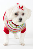 maltese terrier wearing knitted jumper poster