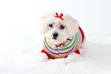 small white dog in winter scene poster