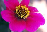 hot pink flower closeup poster