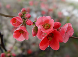 pomegranate flowers poster