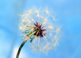 a dandelion against the blue background poster