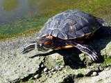 big turtle poster