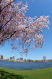 blooming tree by the charles river in boston poster