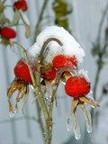 wild rose berries covered with snow and icicles poster