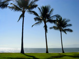 three palm trees at the beach poster