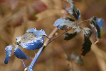 feuilles bleutées