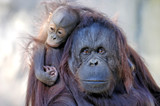 mother and child (orangutans) poster