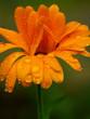 waterdrops on flower macro