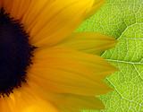 bright sunflower background poster