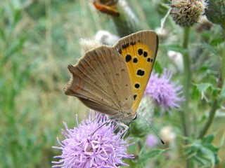 papillon butinage